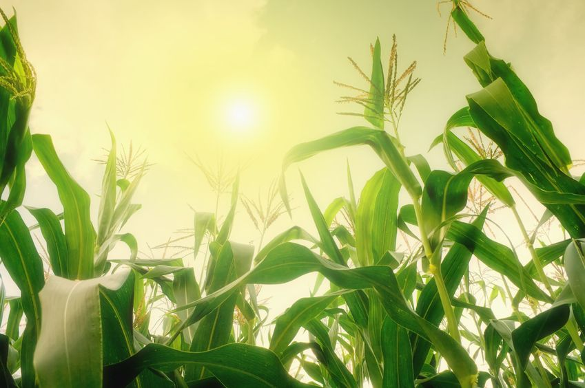 7974870 - tall corn field against summer sun